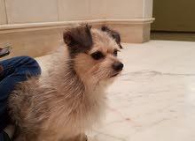 كلب تيرير 11 شهر ذكر