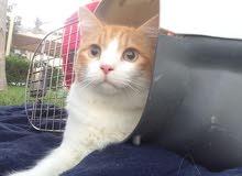 قط شيرازي ذكر للبيع جدة
