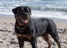 كلب ذكر نوعية روتويلر العمر سنه ونص