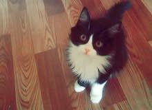 قطه أنثى شيرازي