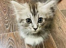 بيع قط شيرازي بجميع مستلزماته