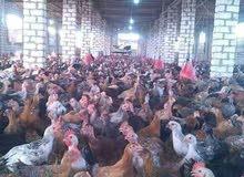 مزرعة دواجن للايجار في الفيوم
