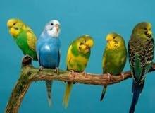 مطلوب طيور بادجي
