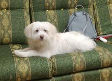 كلب جريفون 8شهور متطعم كل التطعيمات للبيع