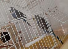 عصافير بقلينو 0910468185