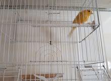 طائر كناري مغرد
