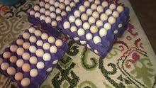 للبيع بيض عربي فيومي مخلوط
