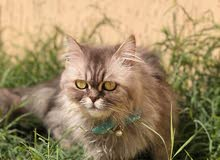 قطه انثى شيرازي مون فيس