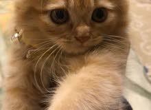 قطة نوع امريكي