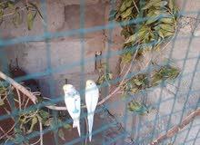 طيور حب حلوات  صاحيات زوجين