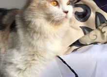 قطه شيرازيه للبيع 60 ريال قابل للتفاوض.