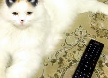RARE Turkish Van cat for sale