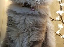 ابحث عن قط سيبيري للبيع