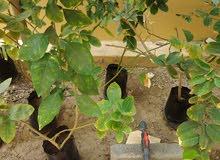 شتلات أشجار السفرجل بو رقاب وصبار الألوفيرا( صقل )