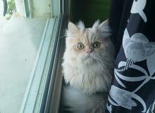 قطة هملايا مكس شانشيلا