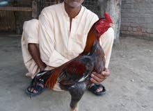ديك باكستاني للبيع