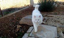 قط شيرازي - ذكر - لون ابيض - العمر سنه