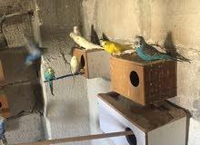 طيور كوكتيل وحب