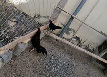 ديك ودجاجه النوع باكستاني العمر 7 أشهر