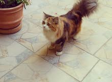 للبيع قطة شيرازية العمر 8 شهور لعوبة مع الأطفال وشعرها كثيف