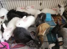 بيع ارانب هولندية