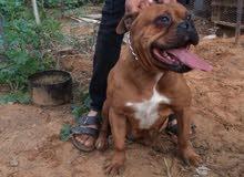 كلبه بولي عمرها عامين ومجريه قبل أوامر وشراسه نص