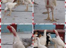 صوص دجاج زينه