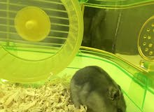 male and female Russian hamsters for sale with all their things