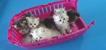 Turkish angore  cats