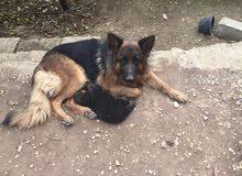 كلب جيرمن شو لاين كسحه شعر طويل