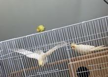 cockatiel breeding pair.        جوز كوكتيل جاهز