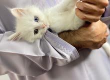 قط شيرازي بيور بعين زرقاء وعين مائلة للرصاصي والاخضر