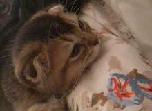 kittens golden ny25