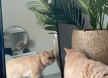 قطه لبييع - انثى