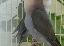 breeding love bird pair for sale.. blue color