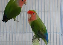 two rose birds for sale