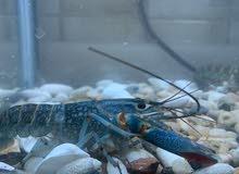 لوبستر بلو lobster blue
