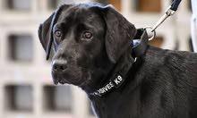 كلب لابرادور اسود
