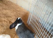 يوجد ذكر ارانب يوزلندي وجنبو وثلات اربع