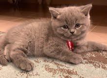 قطة برتش بسعر 90