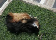 ذكر ارنب غيني واحد كبير والآخر صغير مواصفات شعر طويل