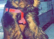 كلب يورك شير اونثئ عمر 55 يوم