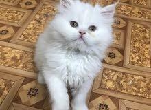 قطة شيرازي بيور للبيع