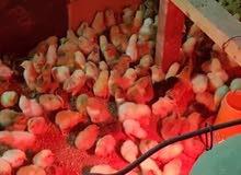 صوص دجاج فرنسي بيور بيور الخزنه