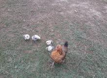 دجاجه وأربع كتاكيت عمرهن شهر