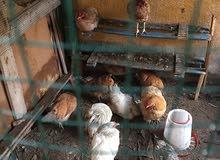 دجاج براهما ودجاج عرب ومضررب