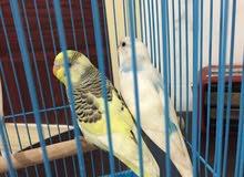 البيع طيور حب
