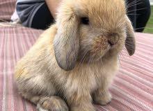 mini loop rabbits