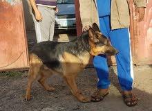 كلب الماني للبيع