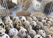 للبيع بيض سمان مخصب